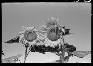 Sunflowers by Lee, LC