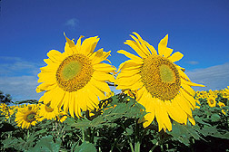 Sunflowers. Photo by Bruce Fritz. image Number K5752-2, United States Dept of Agriculture. Agricultural Research Service. http://www.ars.usda.gov/News/docs.htm?docid=23559